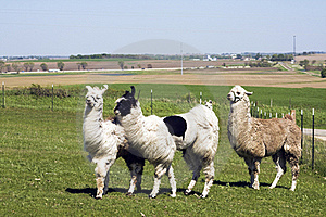 Lama Farm Royalty Free Stock Images - Image: 15417199
