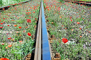 Wild Red Poppies Near Railway Stock Photo - Image: 15420860