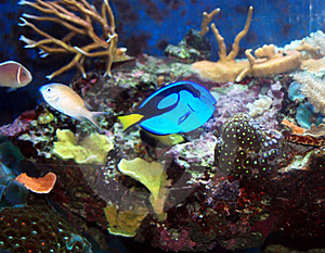 Blue Tang Royalty Free Stock Photography - Image: 15427007