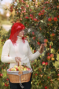 Apple Basket Stock Image - Image: 15428051