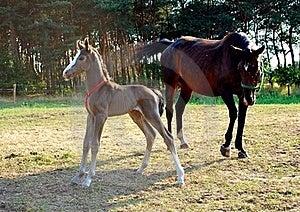 Stute Und Fohlen Lizenzfreie Stockfotografie - Bild: 15428787