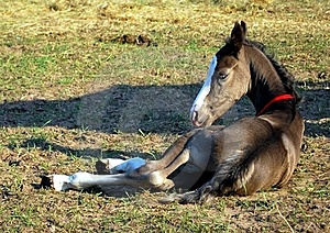 Little Foal Stock Images - Image: 15428864