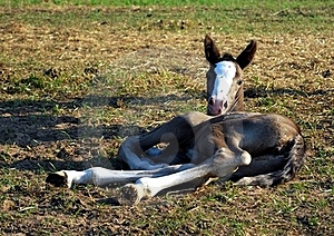 Little Foal Stock Images - Image: 15428904