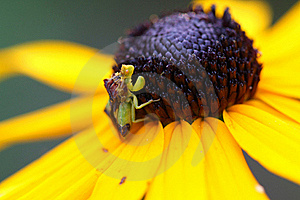 Ambush Bug Stock Photography - Image: 15429272