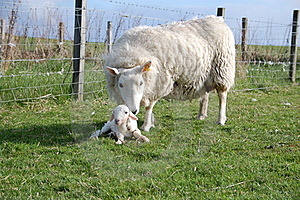 A Sheep And A New Born Lamb Stock Images - Image: 15431014