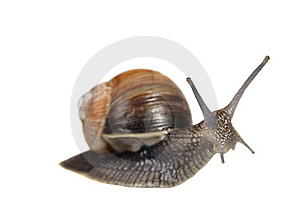 Edible Snail Royalty Free Stock Photography - Image: 15434907