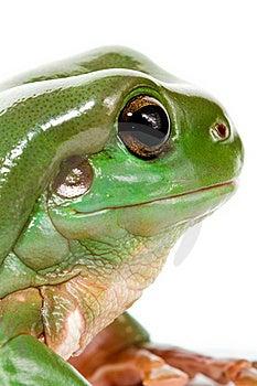 Green Tree Frog Royalty Free Stock Photo - Image: 15435015
