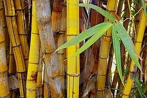 Golden Bamboo Stock Photo - Image: 15435840
