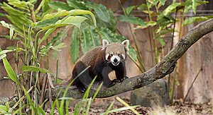 Red Panda Stock Photo - Image: 15436020