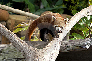 Red Panda Stock Photos - Image: 15436053