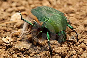 Beetle Stock Images - Image: 15436584
