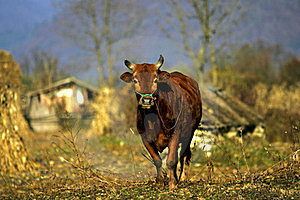 Chinese Cattle Royalty Free Stock Images - Image: 15440269