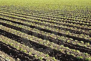 Lettuce Field Stock Photo - Image: 15441260