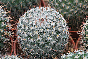 Cactus Mini Stock Image - Image: 15442501