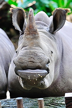 Endangered White Rhinoceros Stock Photos - Image: 15443683