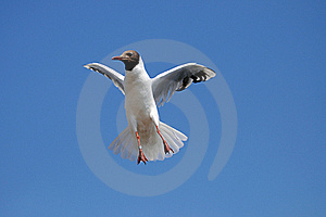 Seagull In Flight For Catch The Food Royalty Free Stock Images - Image: 15446019