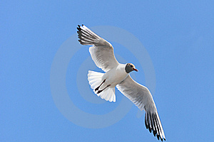 Seagull In Flight Royalty Free Stock Photography - Image: 15446057