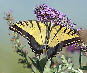 Palamedes Swallowtail Stock Images - Image: 15463374