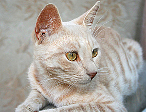 Tawny Cat Royalty Free Stock Images - Image: 15465839