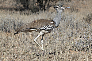 Kori Bustard In The Kgalagadi Royalty Free Stock Photography - Image: 15466827