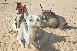 Camels Royalty Free Stock Image - Image: 15468436