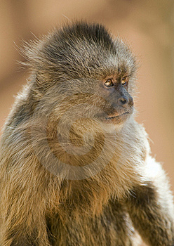 Capuchin Weeper Monkey Royalty Free Stock Images - Image: 15468739