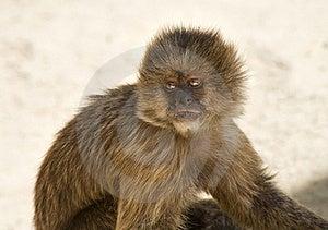 Capuchin Weeper Monkey Stock Images - Image: 15468884