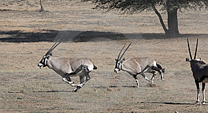 Oryx Skirmishing In The Kgalagadi Stock Photography - Image: 15471102