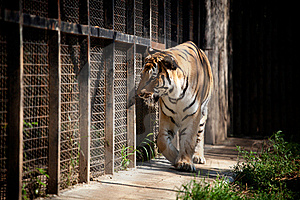 Tiger In A Cage Stock Photography - Image: 15473292