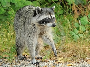 Raccoon On The Prowl Stock Images - Image: 15473954