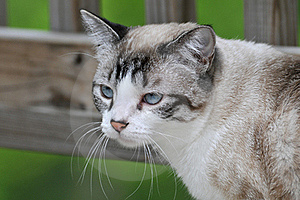 Portrait Of Cat Stock Photos - Image: 15474353