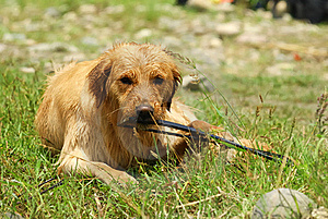 Dog-Golden Retriever Royalty Free Stock Photo - Image: 15475085