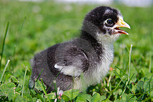 Baby Chick Royalty Free Stock Image - Image: 15479986