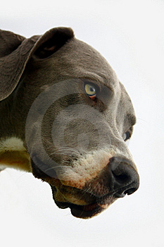 Great Dane Stock Image - Image: 15481121