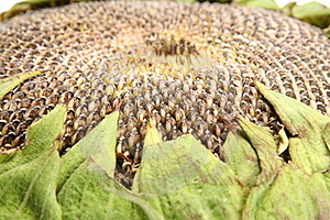 Sunflower Stock Image - Image: 15485141