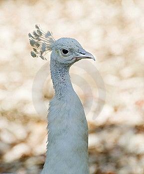 White Peacock Royalty Free Stock Image - Image: 15487546
