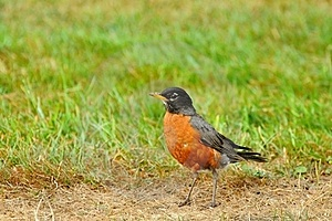 American Robin On The Prowl Royalty Free Stock Photos - Image: 15489838
