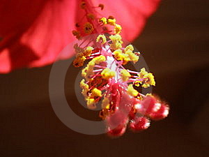 Hibscus Rosa Stock Photography - Image: 15491642