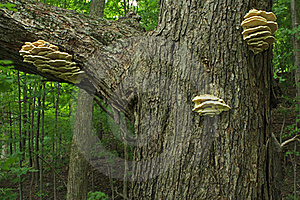 Fungus On Tree In The Forest Stock Image - Image: 15492901