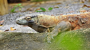 Monitor Lizard Royalty Free Stock Image - Image: 15494076