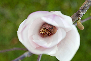 Magnolia Royalty Free Stock Photos - Image: 15496448