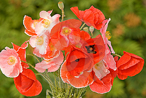 Bouquet Of Red Poppies Royalty Free Stock Image - Image: 15498656