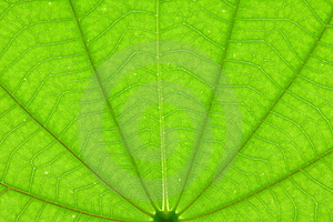 Transparent Green Color Leaf Texture Royalty Free Stock Photos - Image: 15499708