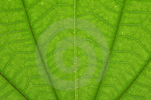 Transparent Green Color Leaf Royalty Free Stock Photos - Image: 15499888