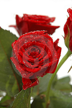Water Drops And Roses Stock Photos