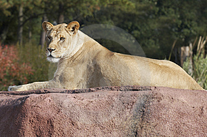 Lioness Royalty Free Stock Images - Image: 1557899
