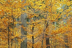 Autumn Forest Royalty Free Stock Photo - Image: 15500605