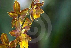 Brown Epyphite Orchid (Oncidium Enderianum) Stock Photo - Image: 15501450