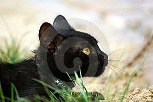 Black Cat Royalty Free Stock Image - Image: 15501546