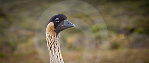 Hawaiian Goose - Nene - Head Closeup Royalty Free Stock Photos - Image: 15503108